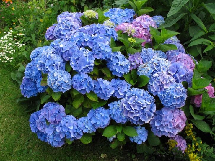 самые дорогие цветы в мире: Гортензия
