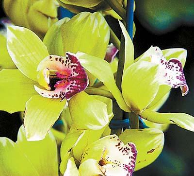 самый дорогой цветок в мире Shenzhen Nongke