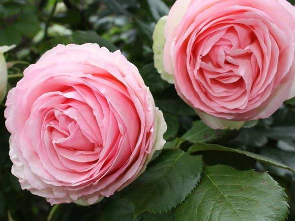 роза Пьер де Ронсар или Эден Роуз