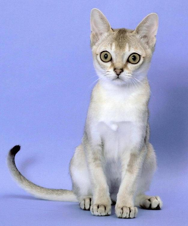самые мелкие породы кошек: сингапура