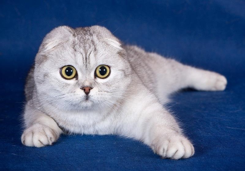 какие есть породы кошек