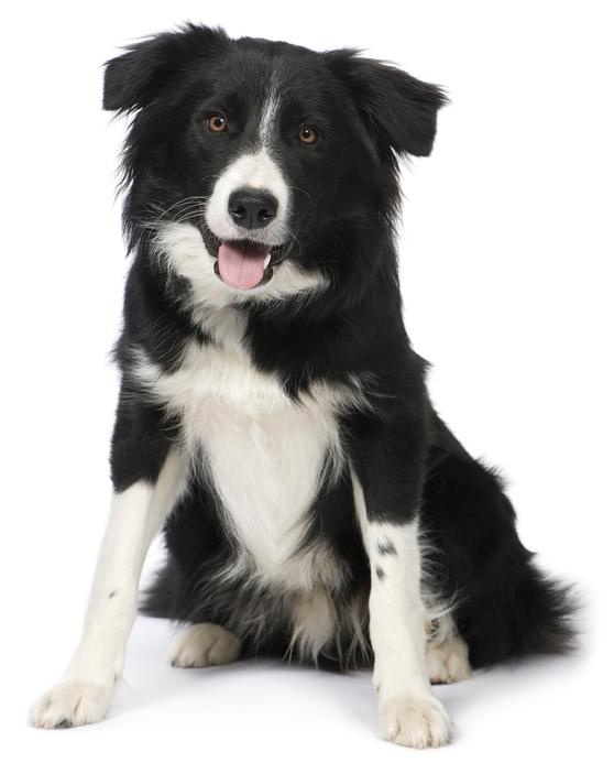 самая умная в мире собака бордер-колли. фото