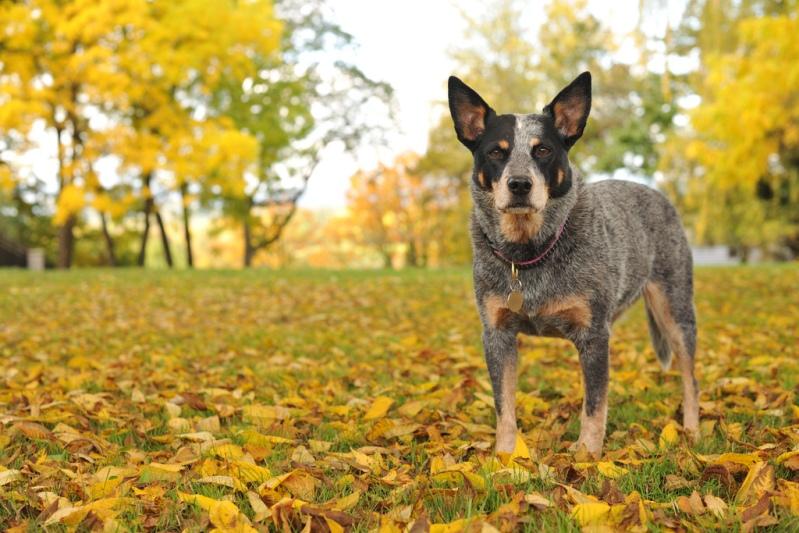 породы с превосходными способностями к дрессировке: австралийская пастушья собака. фото