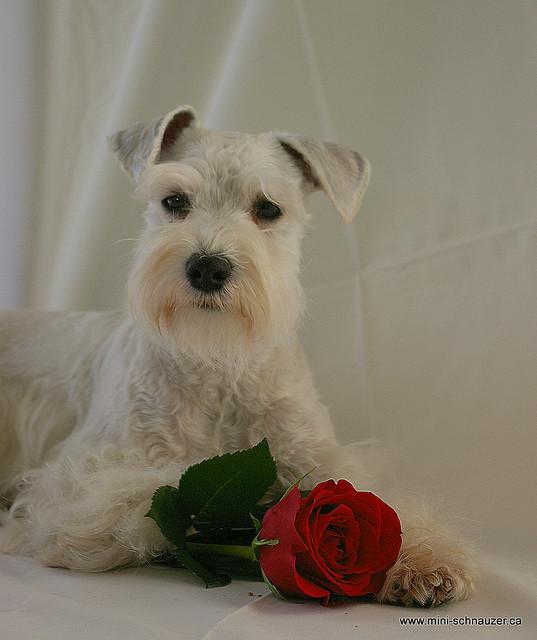 собака породы цвергшнауцер. фото
