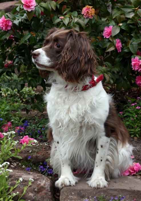 собака породы английский спрингер-спаниель. фото