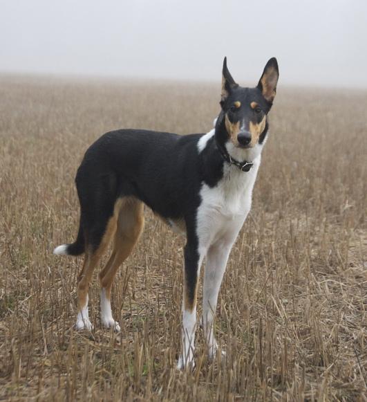 список самых умных пород собак: колли короткошёрстный. Фото
