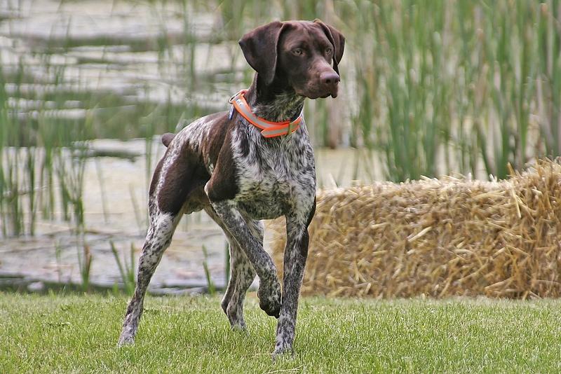 список самых умных собак: порода курцхаар. Фото
