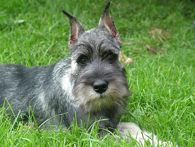 топ самых умных собак: миттельшнауцер. Фото