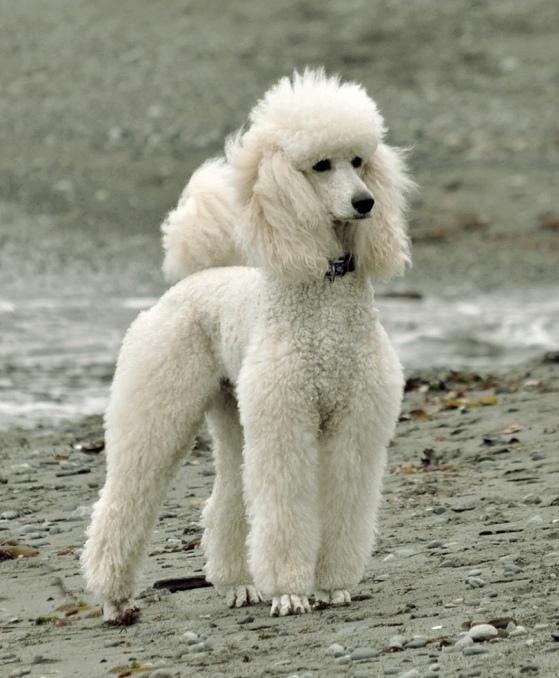 собака породы пудель. фото
