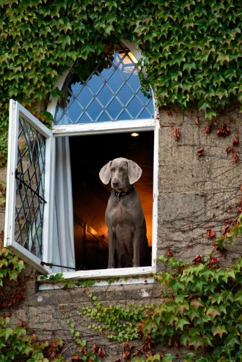 самые умные собаки: порода веймаранер. фото