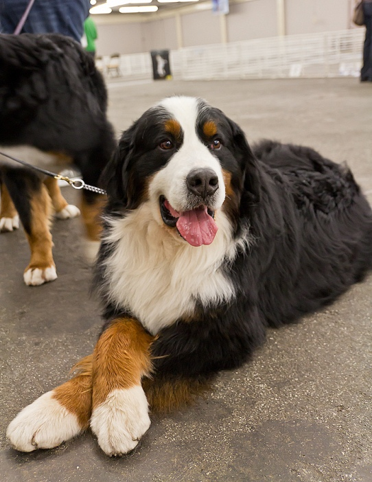 самые умные породы собак: бернский зенненхунд. фото