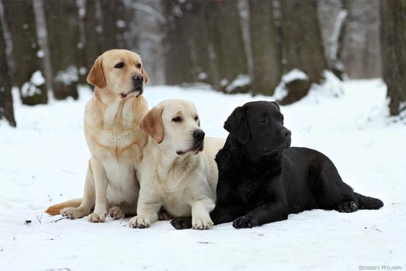 собака породы лабрадор ретривер. фото