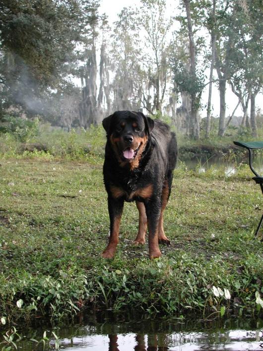 собака породы ротвейлер. фото